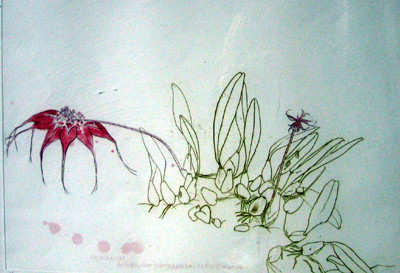 Picture of Orchidaceae Bulbophyllum by Elizabeth Blackadder