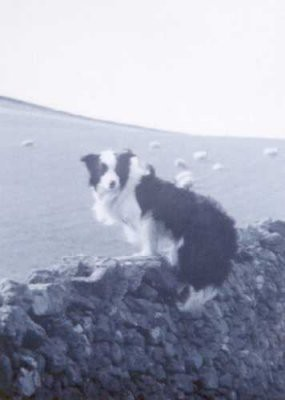 Picture of Border Collie by Brenda Herdman